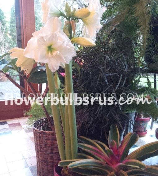 amaryllis, flower bulbs