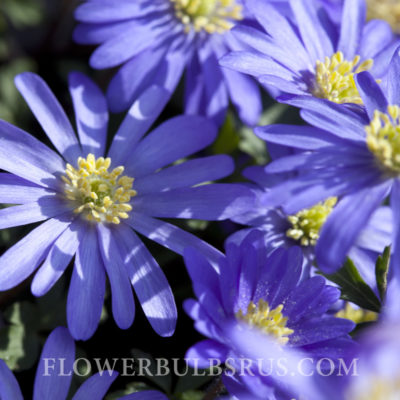 Anemone Blanda Blue Shades, flower bulbs, flowers
