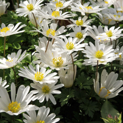Anemone Blanda White Splendour, flower bulbs, garden