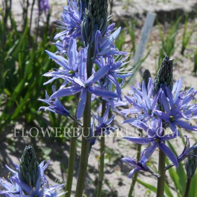 Camassia leichtlinii Caerulea, flower bulbs, gardening