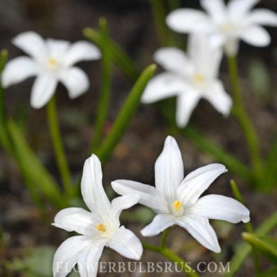 Chionodoxa Luciliae Alba, flower bulbs, garden