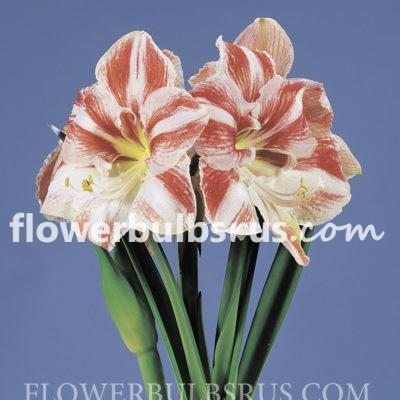 Clown amaryllis FB WM