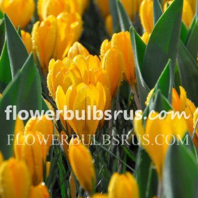 crocus, flower bulbs, Crocus Golden Yellow