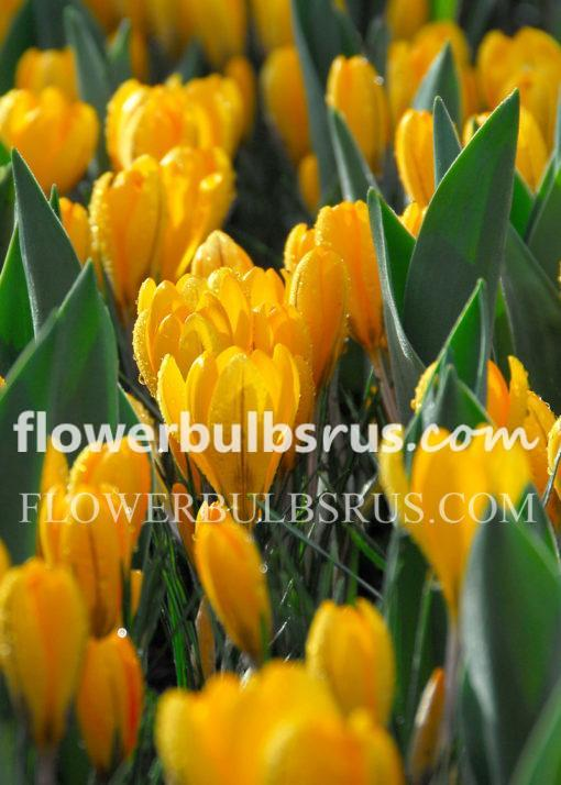crocus, flower bulbs
