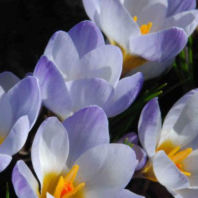 Crocus chrys. Blue Pearl, crocus, flower, garden