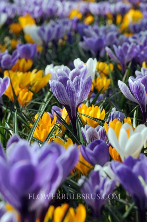 Crocus Large Flowering Mix, crocus, flowers, garden
