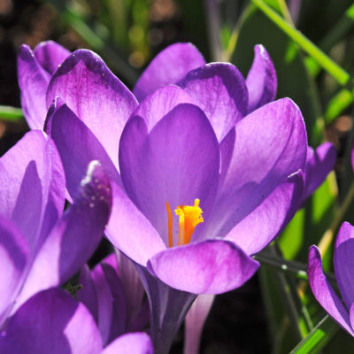Crocus tomm. Ruby Giant, crocus, flower bulb, garden