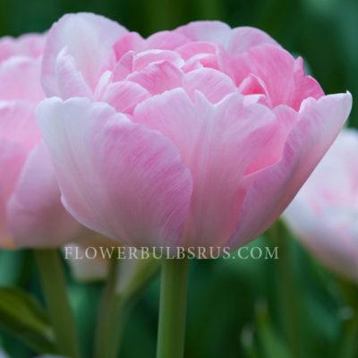 Tulip Angelique, tulip, flower