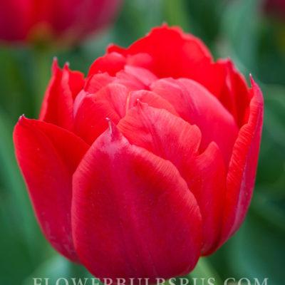 Tulip Abba, tulip, flower bulb, garden