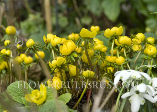 Eranthis cilicica, flower bulbs, garden