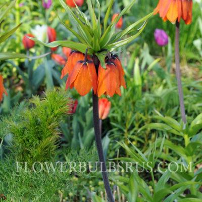 Fritillaria imperialis Aurora, fritillaria, flower bulb, garden