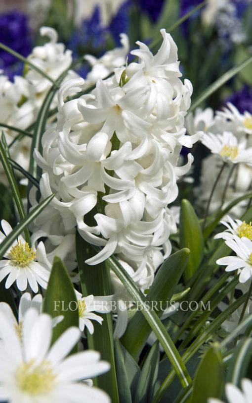 Hyacinth Carnegie, hyacinth, flower bulb, garden