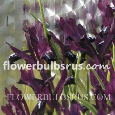 iris, flower bulbs