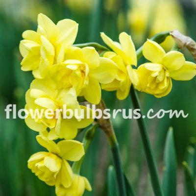 Narcissus Yellow Cheerfulness, daffodil, flower bulb, garden