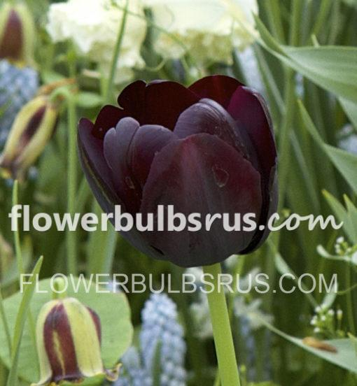 flower bulbs, tulip