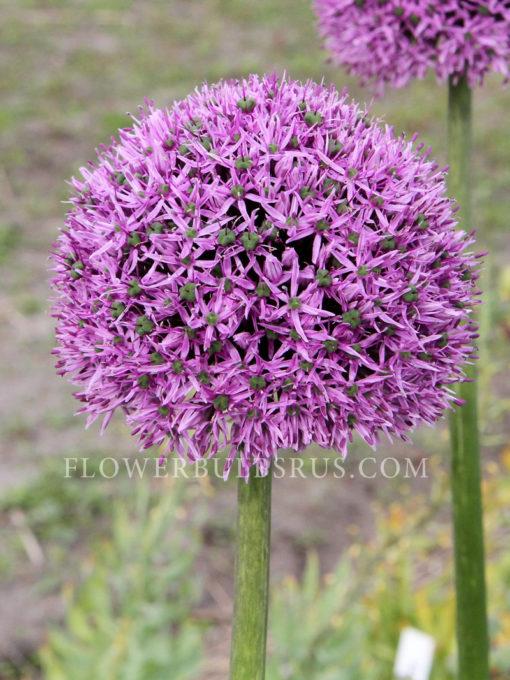 Allium Gladiator, allium, flower bulb, garden