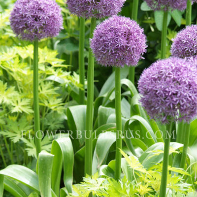 muscari armeniacum planting instructions