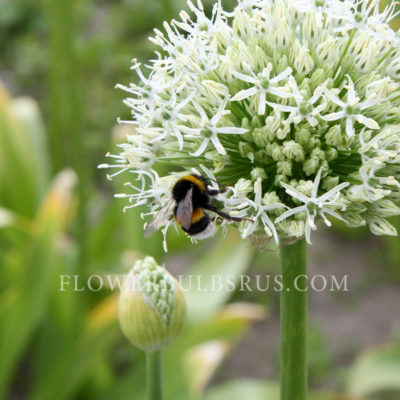 Allium Mount Everest, allium, flower, garden