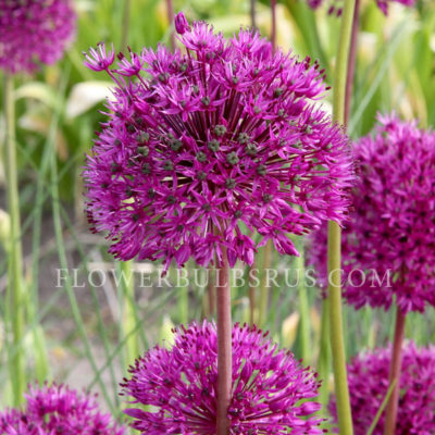 Allium Purple Sensation, allium, flower bulbs, garden