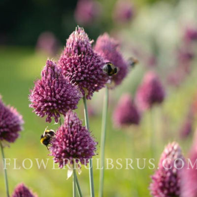 allium, allium sphaerocephalon, allium, flower bulbs, flowers, garden