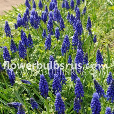 muscari, flower bulbs, Muscari armeniacum