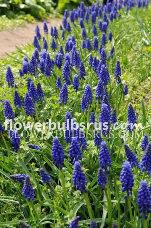 muscari, flower bulbs