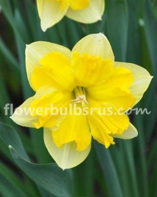 Narcissus Chantarelle, daffodil, flower bulb, garden