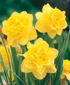 Narcissus Dick Wilden, daffodil, flowers, flower bulb