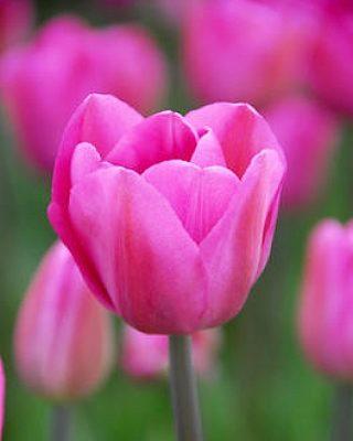 Tulip Don Quichotte, tulip, flower