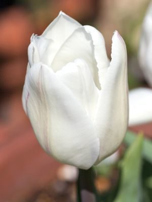 Tulip White Marvel, tulip, garden, flower