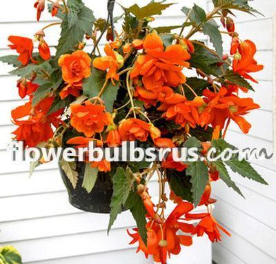 begonia, Begonia Orange Pendula, flower bulb, flowers