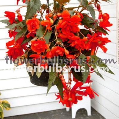 Begonia Red pendula, begonia, flower bulb, flowers, garden