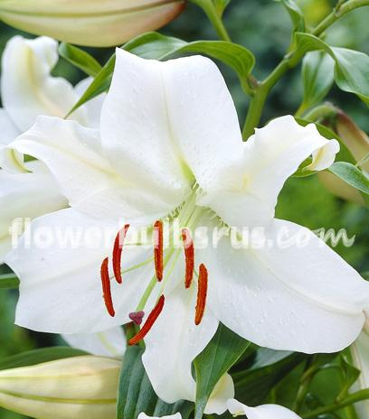 lily, lily casablanca, flowers, flower bulbs, garden