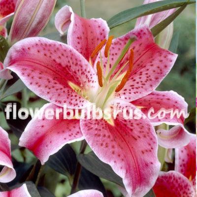 lily stargazer, lily, flower bulb, flower, garden