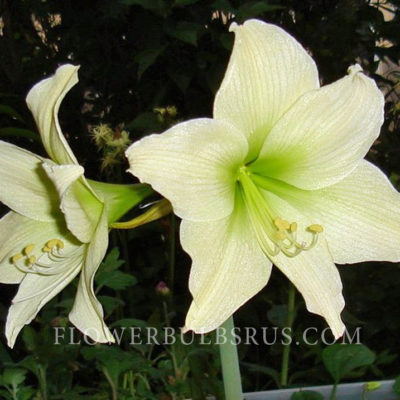 Amaryllis_lemon_star_fb_wm