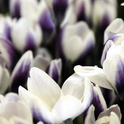 Crocus Prins Claus, crocus, flower bulb, garden