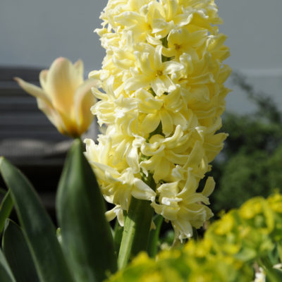 hyacinths gipsy princess