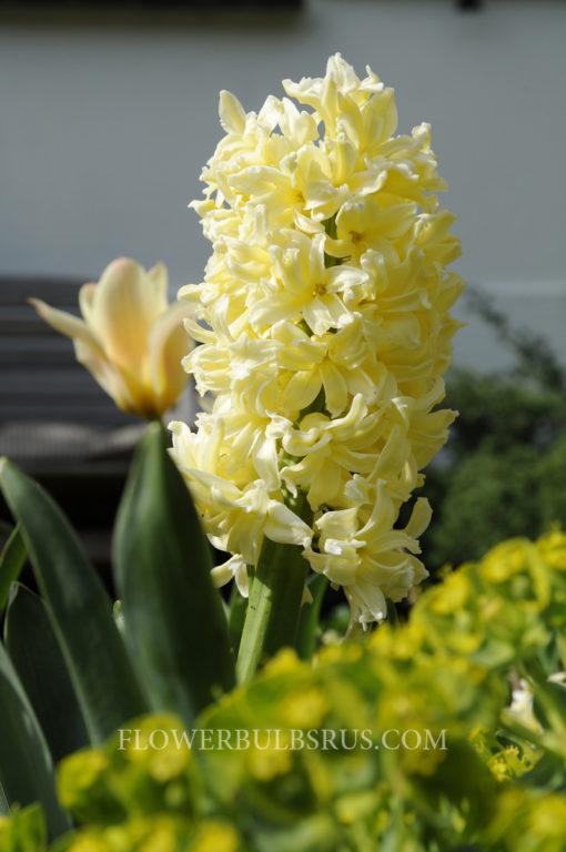 Hyacinth Gipsy Princess, hyacinth, flower bulbs, gardening