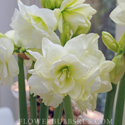amaryllis, flower bulbs