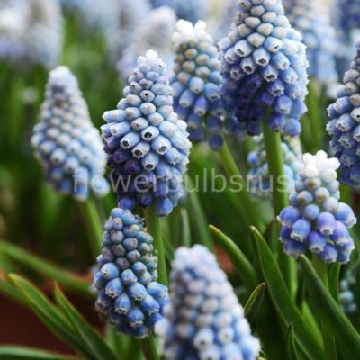 Muscari aucheri Ocean Magic, flower bulbs, garden