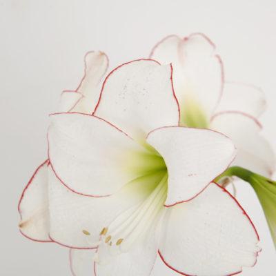 Amaryllis Picotee 3x & Amaryllis Red Lion Gift box | Flower Bulbs R Us Aboutintivar.Com