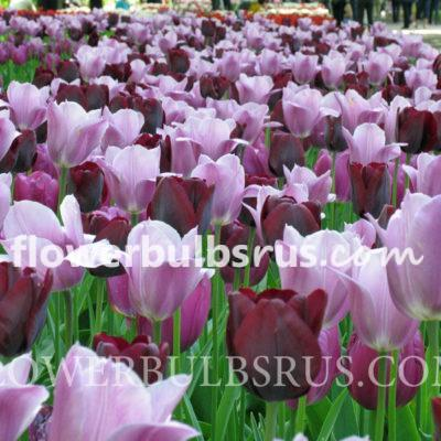Queens tulip FB WM