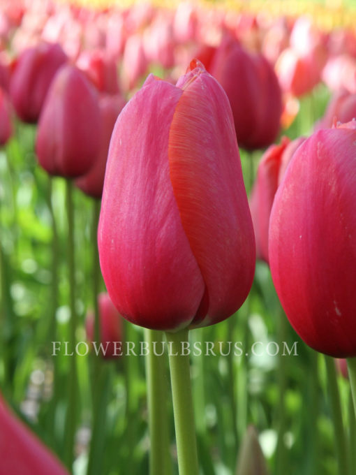 Tulip Renown, tulip, garden