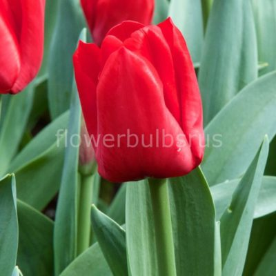 Tulip Escape, tulip, flower