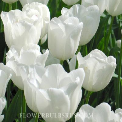 Tulipa_antarctica_fb_Wm