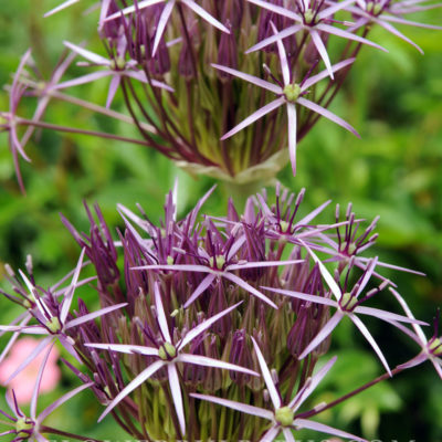 Allium christophii, allium, flower bulb, garden