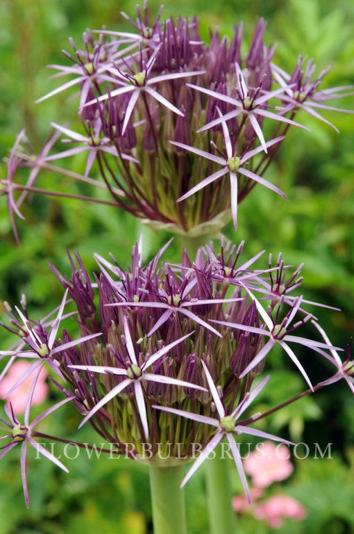 Allium christophii, allium, flower bulb, garden