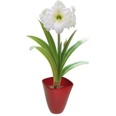 Amaryllis Gift Kit Flower Bulbs R Us