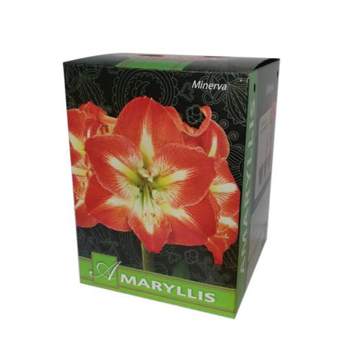 Flower Bulb Gift Baskets : Amaryllis minerva gift box flower bulbs r us