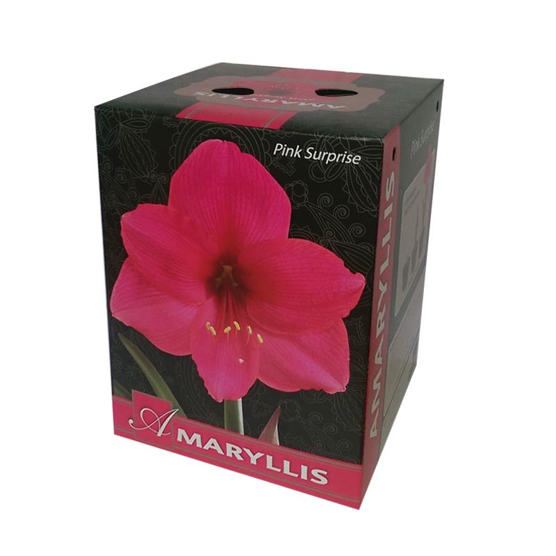 Amaryllis Pink Surprise Gift box. ?. flower bulbs  sc 1 st  Flower Bulbs R Us & Amaryllis Pink Surprise Gift box | Flower Bulbs R Us Aboutintivar.Com